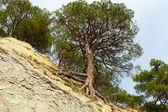 Pine on breakage — Stock Photo