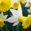 Stock Photo: White narcissuses
