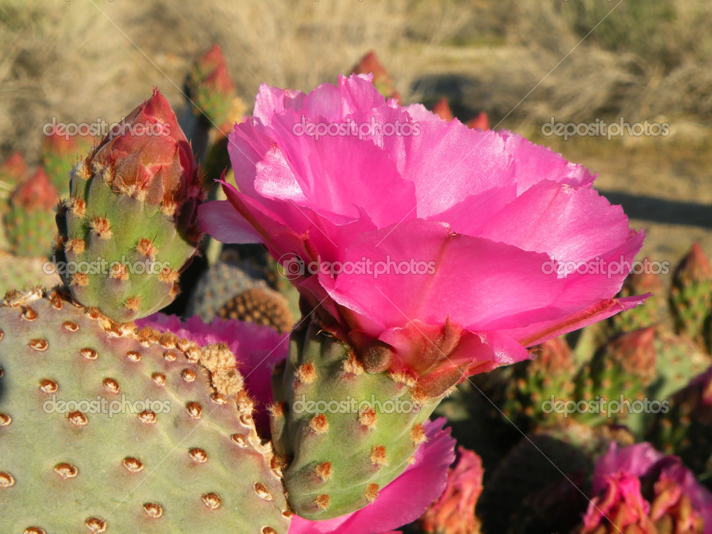 Blooming Beavertail cactus growing in the desert of southwestern United States                           — Stock Photo #2209333