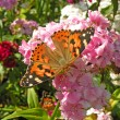 Tortoiseshell butterfly - Stock Photo