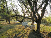 Grazing cattle — Stock Photo