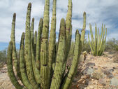 Organ Pipe Cactus — Stock Photo