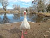 White domesticated goose — Stock Photo