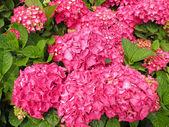 Pink hydrangea — Stock Photo