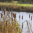 Bullrushes — Stock Photo