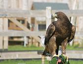 鹰 — 图库照片