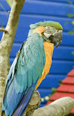 Perroquet — Photo