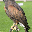 Stock Photo: Harris hawk