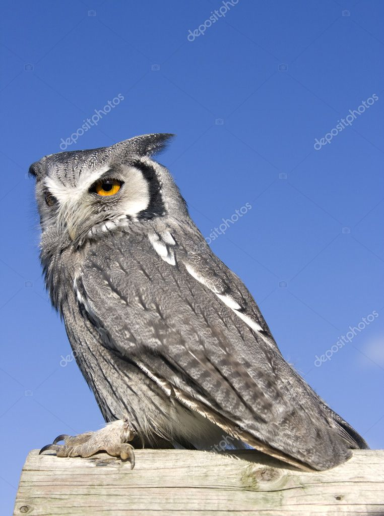 A Scops Owl perching on a log  Stock Photo #2349923
