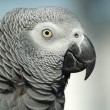 Stock Photo: Gray red tailed parrot