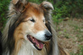 The head of a Collie — Foto Stock