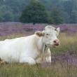 White cow in landscape — Stock Photo #2222324