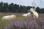 Resting white cow — Stock Photo