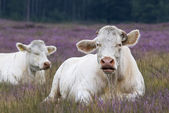 Riposo mucca in heather — Foto Stock