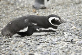 Sleeping penguin — Stock Photo