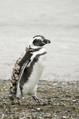 Walking penguin — Stockfoto