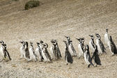 Walking penguins — 图库照片
