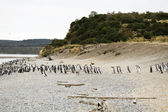 Penguins in Argentina — Stock Photo