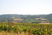Vineyard in Chianti — Stock Photo