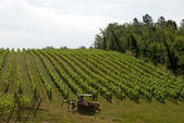 Vineyard in the Chianti — Stock Photo