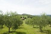 итальянского оливкового сада — Стоковое фото