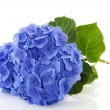 Blue Hydrangea — Stock Photo #2429603