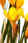 Yellow botany Crocus — Stock Photo