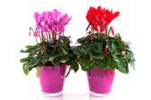Red and pink Cyclamen — Stock Photo