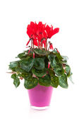 Red Cyclamen — Stock Photo