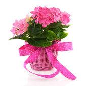 Pink Hydrangea with ribbon — Stock Photo