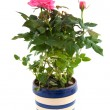 Pink rose bush in flower pot — Stock Photo
