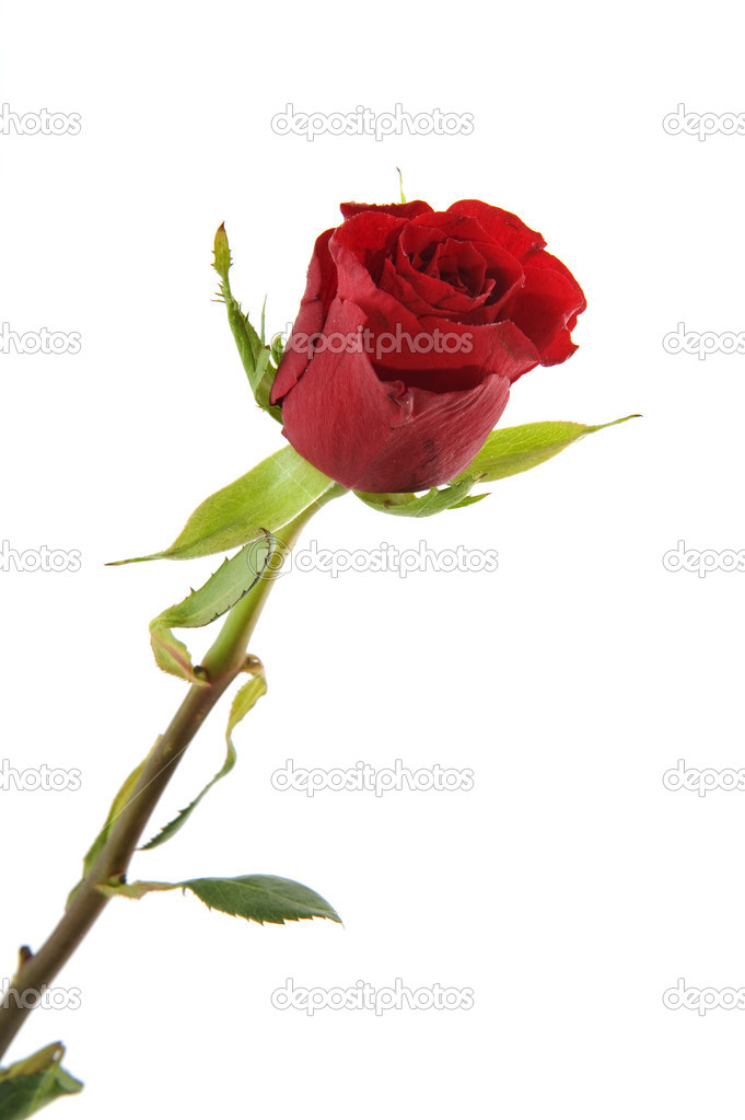 Single beautiful red rose isolated over white — Stock Photo #2430409