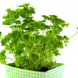 Parsley — Stock Photo #2444643
