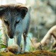 Stockfoto: Arctic fox hunting