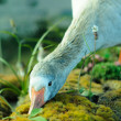Goose — Stock Photo #2271240