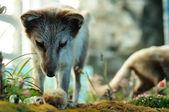 Arctic fox hunting — Stock Photo