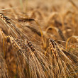 Grain — Stock Photo #2216727