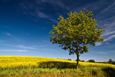 Tree on a rape field — Stock Photo