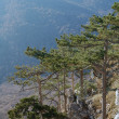 Stock Photo: Pines above precipice