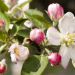 Stock Photo: Apple flowers
