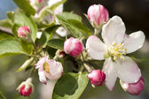 Apple flowers — Stock Photo