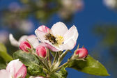 Apple bloemen — Stockfoto