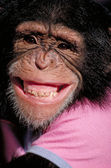 Grinning Chimpanzee — Stock Photo