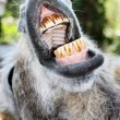 Donkey with mouth open — Stock Photo #2279811