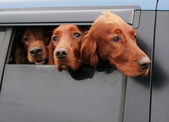 Irish Setters — Stock Photo