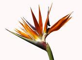 Bird of paradise flower — Stock Photo