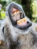 Donkey with mouth open — 图库照片