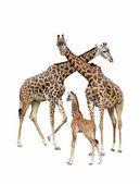 Giraffe family — Stock Photo