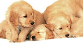 Golden retriever valpar — Stockfoto