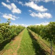 Vineyard Scene - Stock Photo